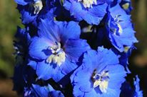 Plant Sale Article (front page) Delphinium 'Cobalt Dreams'